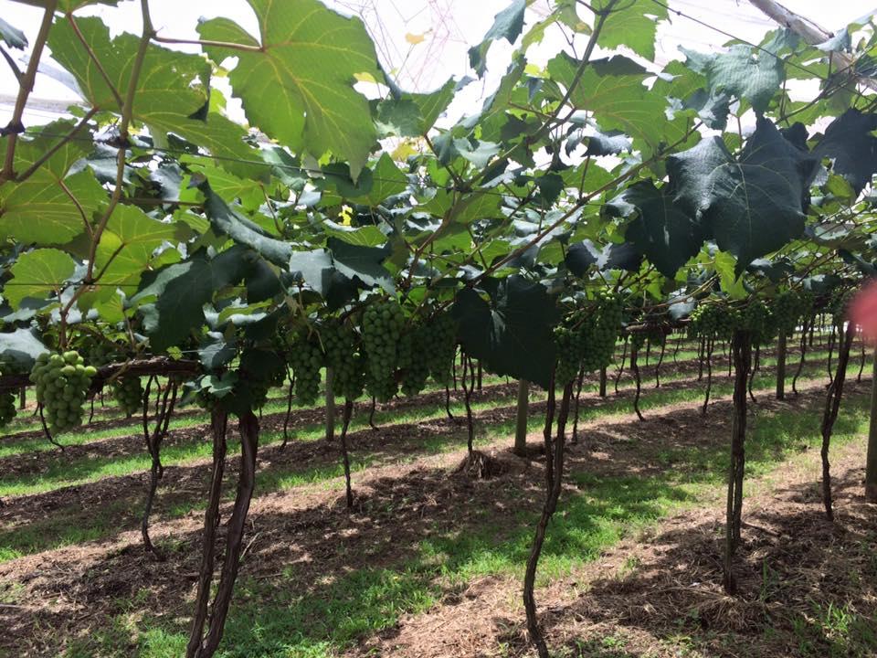 As uvas ainda verdes, antes da época da colheita