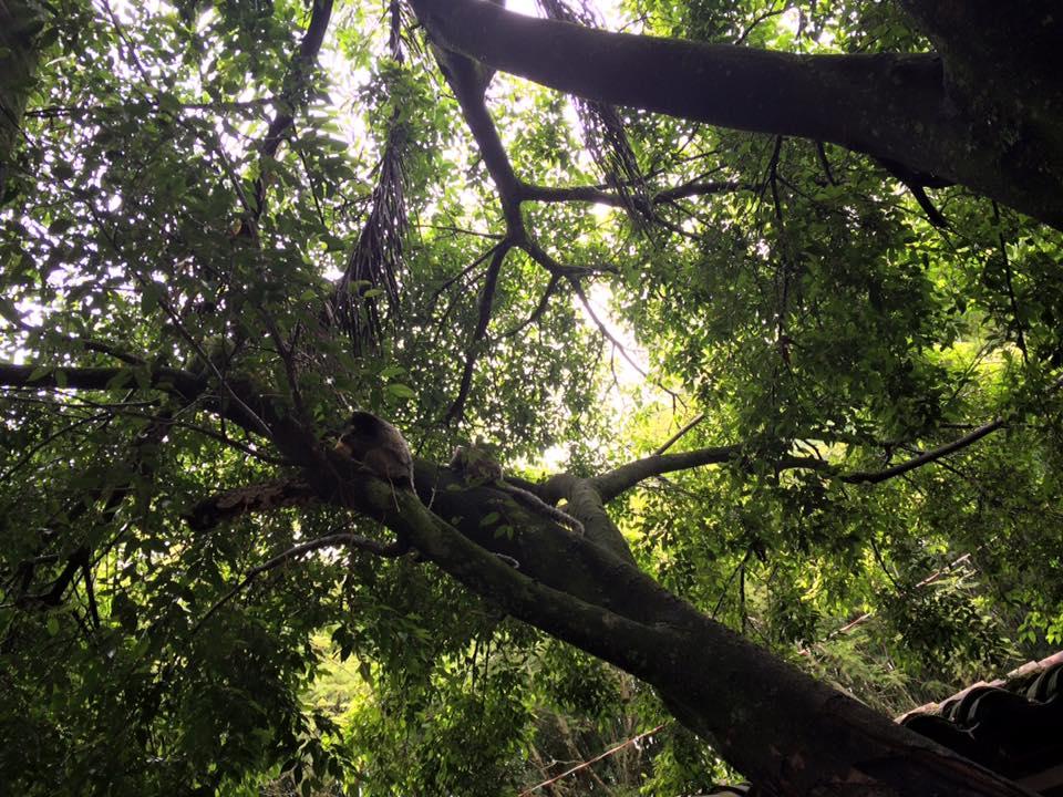 Essa árvore fica no meio do restaurante e é morada de alguns saguis