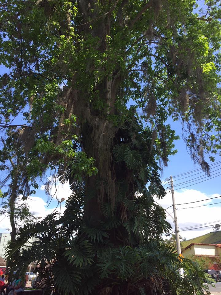 A árvore centenária